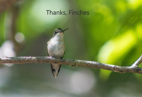 thanks finches