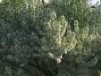 Roger's flowering tree